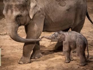 Kerstwonder in Planckendael: baby-olifantje geboren, kies hier mee een naam