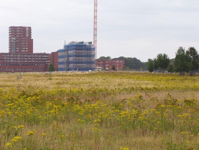 De vier koeien in park Meerhoven. Het veld kleurt geel van het Jacobskruiskruid. (archieffoto)