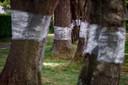 Eikenbomen in de Tilburgse wijk De Blaak. Inwoners hebben ze massaal ingepakt.