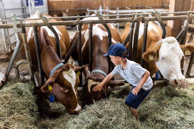 Funny, Heidi en Lea op boerderij Daxerhof. De zoon des huizes vindt het prima zo. Isabella en Lukas Übertsberger hebben rond 100 melkkoeien die uitsluitend met hooi van hun eigen weilanden gevoerd worden. De hoogwaardige melk word vooral gebruikt om kaas te maken. Beeld Julius Schrank