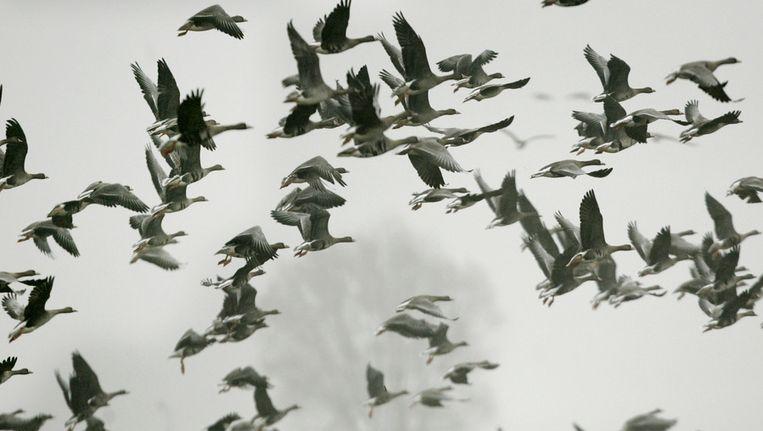 Talrijke ganzen in een weiland bij Eembrugge. Beeld ANP