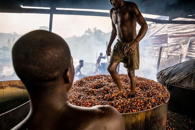 De vruchten van de oliepalm worden binnen een dag na de oogst gestoomd en uitgeperst. Beeld Sven Torfinn