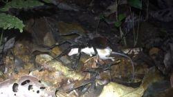 Tarantula's lusten zelfs buidelratten
