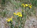 Concurrentie om het jakobskruiskruid: vijf kleine vuurvlinders op de bloemen en daaronder rupsen van de Sint-Jacobsvlinder.