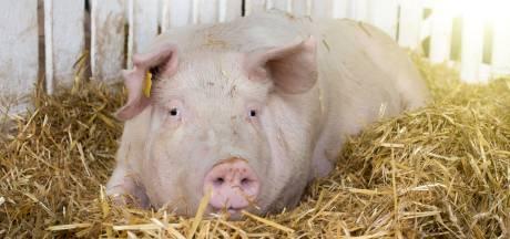 Eerste stallen van stoppende varkenshouders in Bernheze zijn al leeg