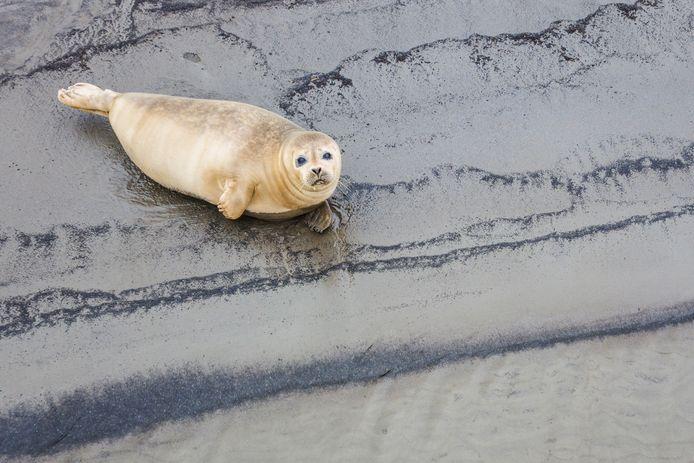 De zeehond blijkt al langere tijd in het Spui te 'wonen', zegt zeehondencentrum Pieterburen.