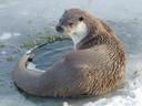 De otter is straks vaste bewoner van de Hemelrijkse Waard bij Lithoijen.