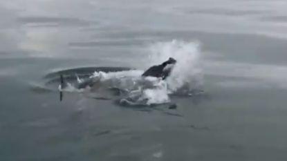 VIDEO. Witte haai pocht met dolfijn in de bek, maar nog grotere haai snoept prooi plots af