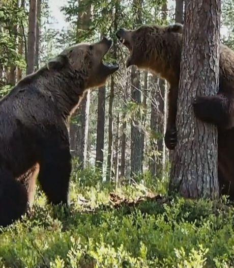 Violent affrontement entre deux ours en Finlande