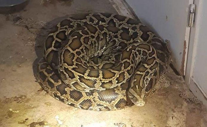 Een van de pythons uit de Rotterdamse woning.