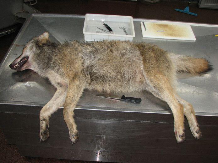 De aangereden wolf belandde vandaag meteen op de snijtafel in Utrecht.
