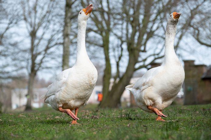 MECHELEN De ganzen in Papenhof zijn weer verenigd