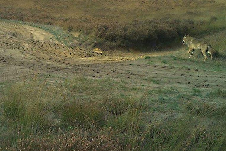 Een cameraval van Natuur en Bos van de Vlaamse overheid heeft een beeld kunnen maken van wolf August bij daglicht. Beeld Natuur en Bos van de Vlaamse overheid