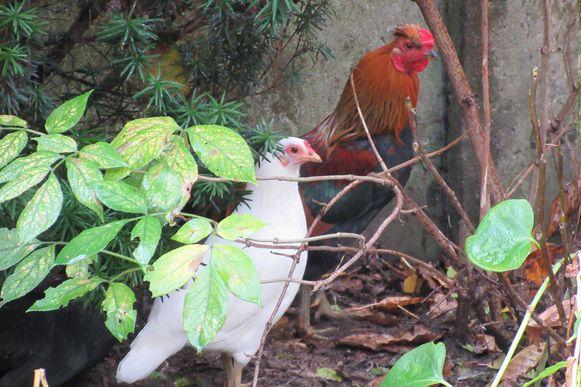 Een kip en een haan van Germaine.