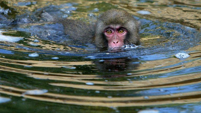 Een Japanse makaak. Beeld ANP