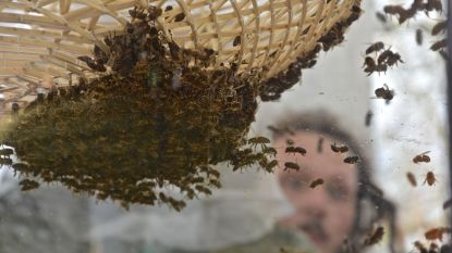 Wilde bijen als belangrijke partner voor de fruitteelt