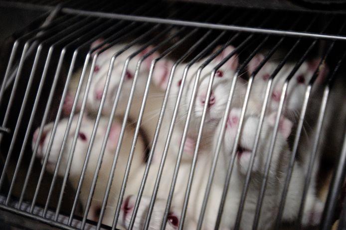 Met meer 150.000 per jaar zijn muizen zijn nog altijd de vaakst gebruikte proefdieren.
