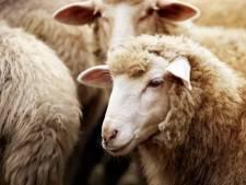 Un marchand de moutons se voit être interdit à vie de détenir des animaux
