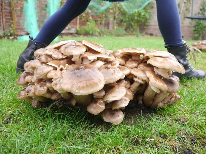 Een hele stap groot! Kees Schepers uit Bergen op Zoom vond dit bosje paddenstoelen in de Wagnerstraat.