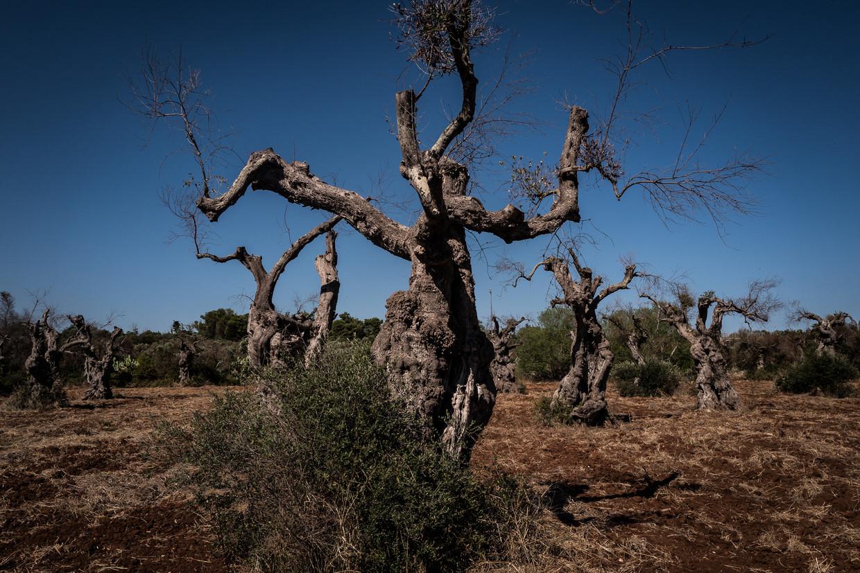 Zieke olijfbomen in Gagliano del Capo, Puglia. Beeld Nicola Zolin