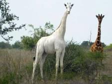 L'unique girafe blanche en vie a été équipée d'un traceur GPS au Kenya