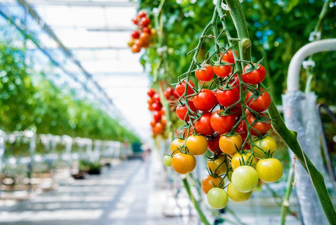 Akelig virus houdt tomatentelers in de greep.