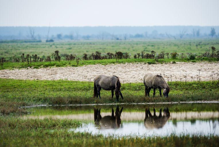 Konikpaarden grazen in de Oostvaardersplassen in Flevoland. Beeld AFP