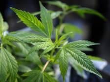 Du cannabis pour dépolluer les sols