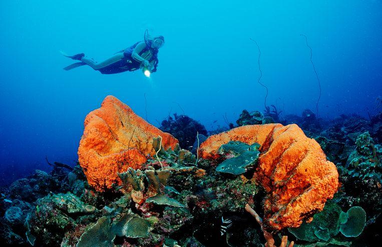 Koraal voor de kust van Bonaire. Beeld ullstein bild via Getty Images