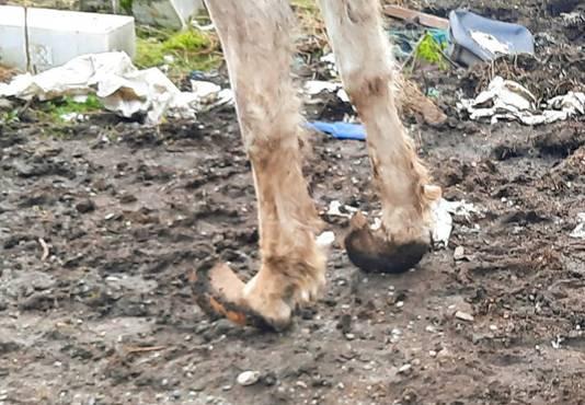 Les sabots d'un des chevaux étaient si longs et recourbés que l'on aurait dit des babouches.