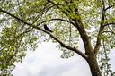 Een van de kraaien die in een boom aan Onderlangs een nest hebben gebouwd.