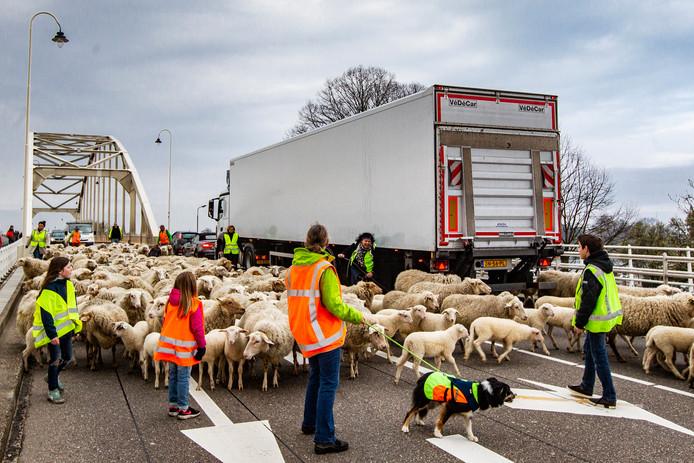 De schaapskudde van Deventer in maart van dit jaar. De beesten kwamen over de Wilhelminabrug weer de stad in.