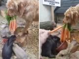 Hond  voert wortels aan konijnen en varkentje