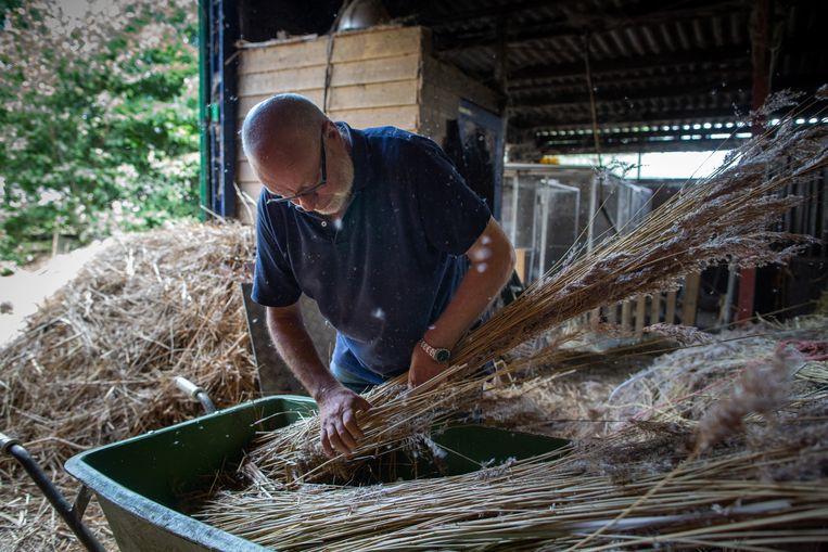 Vader Jan Peter de Dood pakt een bos rietstengels om die te 'sloeken', het mechanisch verwijderen van onkruid en zijstengels van riet. Beeld Herman Engbers