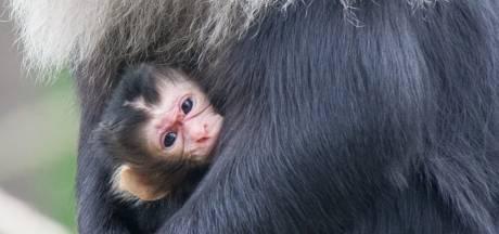 Apenheul brengt babynieuws dat bijna nooit voorkomt