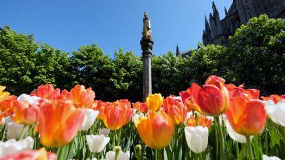 Corona stopt de lente niet: Mooie bloemenpracht in Ieper
