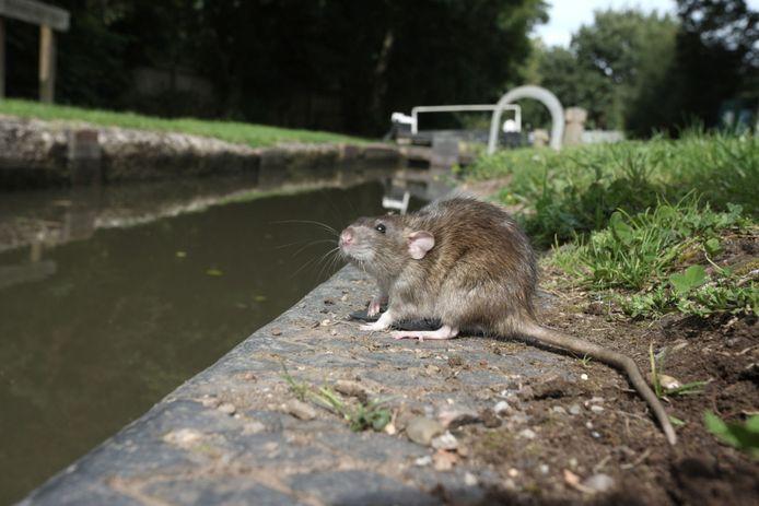 De Veldhovense gemeenteraad riep burgemeester en wethouders dinsdag op een plaagdierbestrijder aan te stellen, als antwoord op de rattenplaag in het dorp.