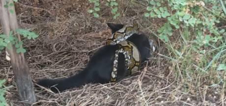 Étranglé par un python, un chat sauvé par un massage cardiaque