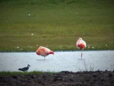 Flamingo's strijken neer in Noordijk
