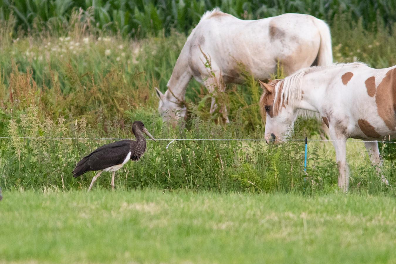 Een zwarte ooievaar struint door een weiland in Baarn