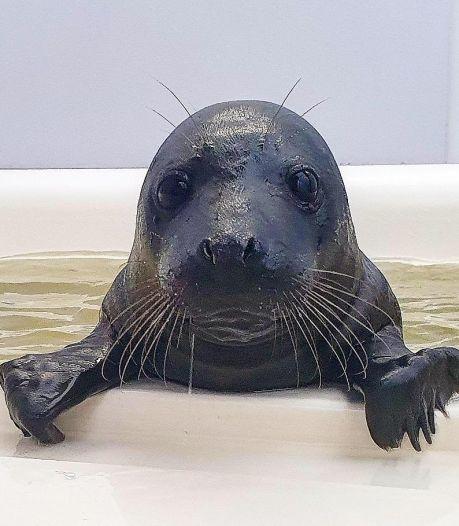 Bijzonder! Deze zeehondenpup is net als de 'zwarte panter' helemaal zwart