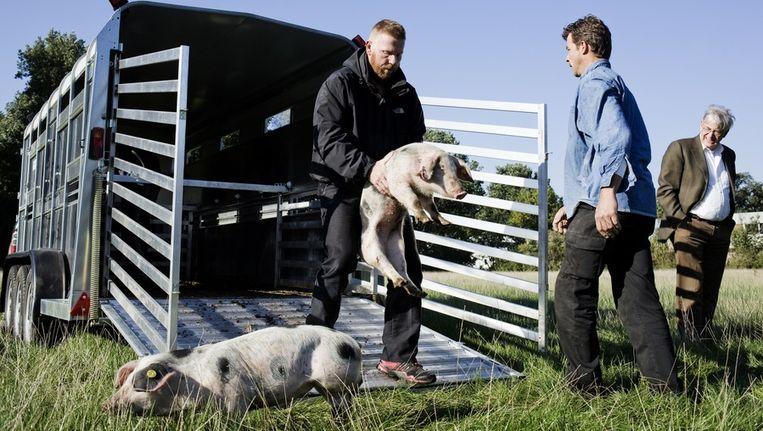 Arno tilt zijn varkens uit de trailer. Beeld Femke Boermans