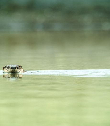 Amsterdam krijgt voor het eerst in 50 jaar bezoek van een otter