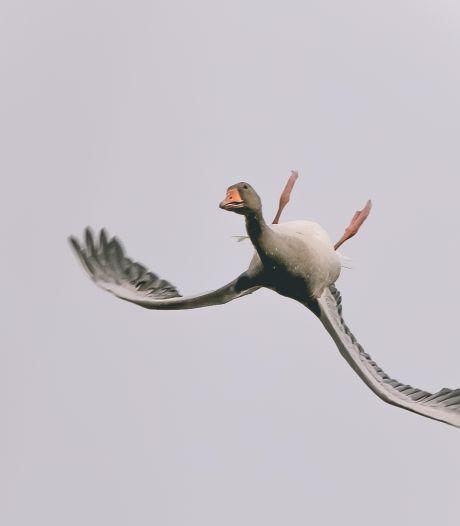 Nee, dit is écht geen photoshop: Vincent legt ondersteboven vliegende gans vast