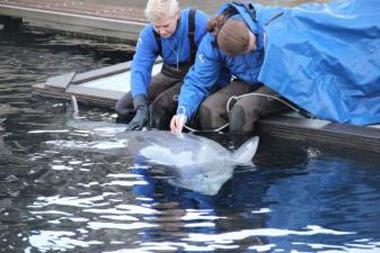 Verzorgers van Molly eerder bij de zwangere dolfijn Beeld Dolfinarium