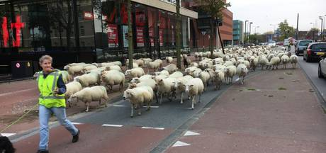 250 schapen steken met hulp van politie de IJssel over