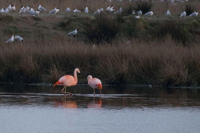 De flamingo's zijn terug in het Zwillbrocker Venn.