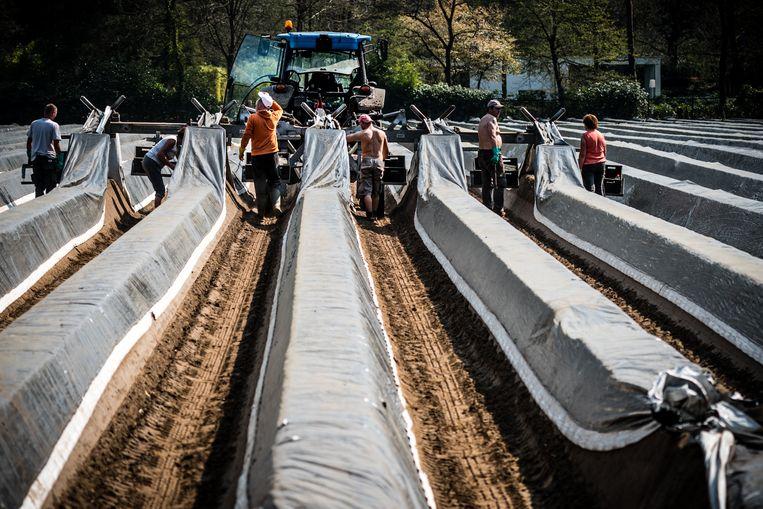 Seizoensarbeiders aan het werk op een aspergeveld. Beeld Rob Engelaar