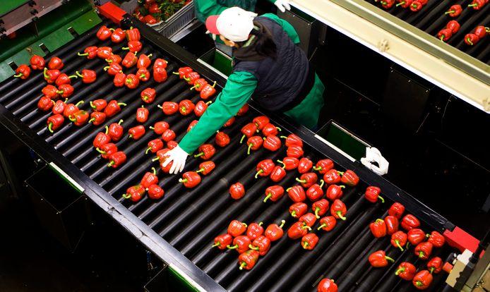 Kwekerij De Wieringermeer in Lier, gespecialiseerd in de biologische teelt van de rode paprika in kassen.