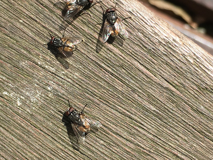 Zijn het herfstvliegen of maartsevliegen? Hierover verschillen de inzichten.